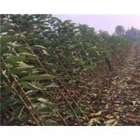 吉塞拉樱桃成品苗种植基地