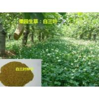 四川品种好的白三叶草坪种子供应 购买白三叶草坪种子