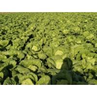 双鸭山蔬菜代收哪家好-新民市科旺种子供应划算的蔬菜