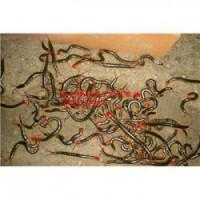 青海蝎子毒的采集蝎子养殖效益