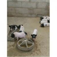藏香猪养殖场四川内江市周边现在哪里有卖宠